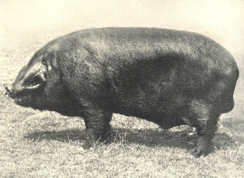 "Associate Product PIGS. Black Boar-""Hasketon Black King IV"", Champion 1912 old antique print"