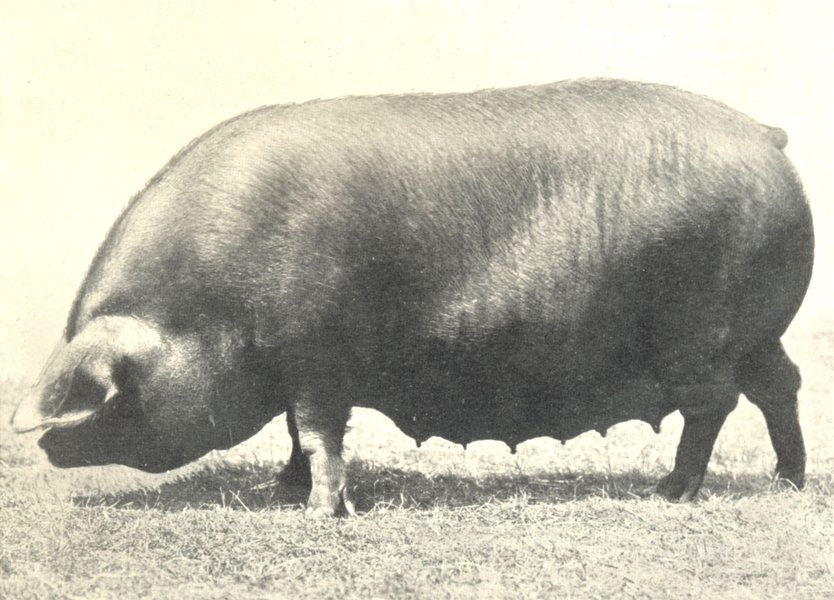 """PIGS. Black Sow-""""Hasketon Long Lady"""", Cup winner at RASE show 1912 old print"""