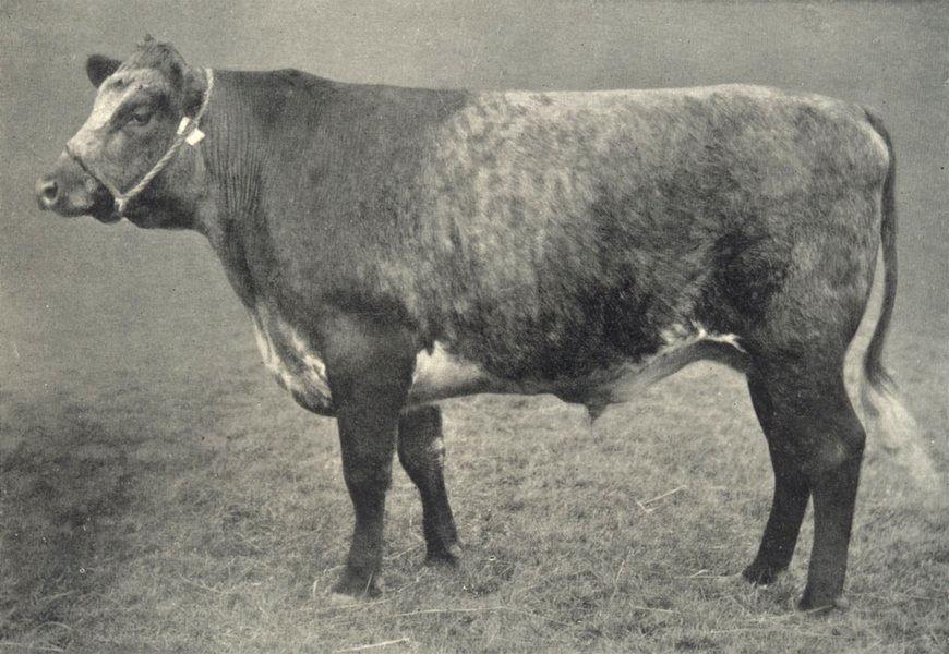 Associate Product OXEN. Blue-Grey Ox 1912 old antique vintage print picture