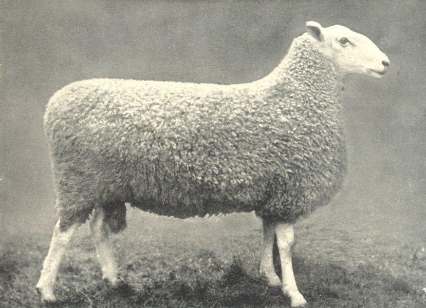 "BORDER LEICESTER RAM. ""Pitlivie Brilliant"" H&AS show prizewinner 1912 print"