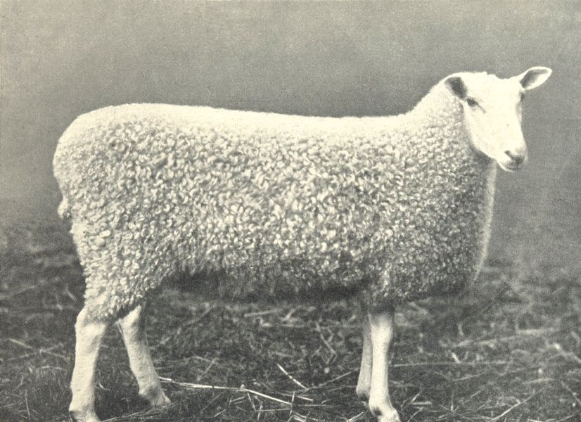 Associate Product SHEEP. Border Leicester Gimmer Breed Champion at H. & A. S show, 1899 1912