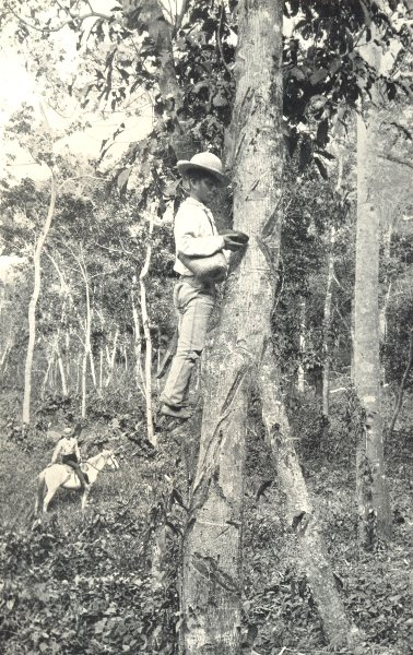 Associate Product FARMING. Collecting Indiarubber in a South American Rubber Plantation 1912