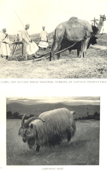 Associate Product FARMING. Camel buffalo yoked together Egyptian straw-Cutter; Kashmir Goat 1912