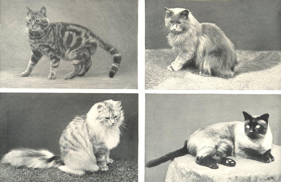 Associate Product CATS. Domestic Cat; Blue-smoke Persian; Persian; Siamese (Thai) 1912 old print