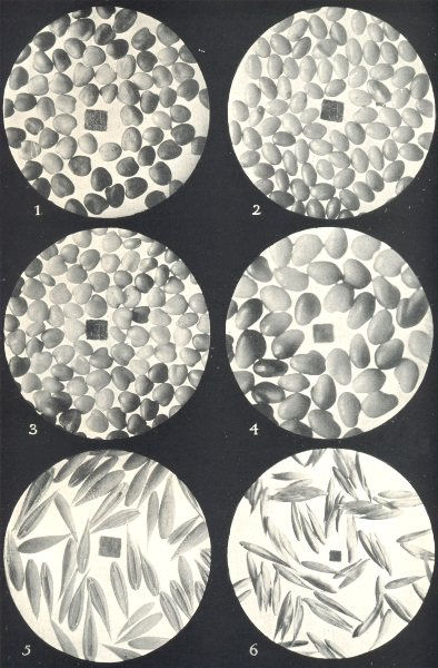 Associate Product CLOVER SEEDS.Alsike;Yellow;White;Red Grasses;Crested Dog's-tail;Cocksfoot 1912