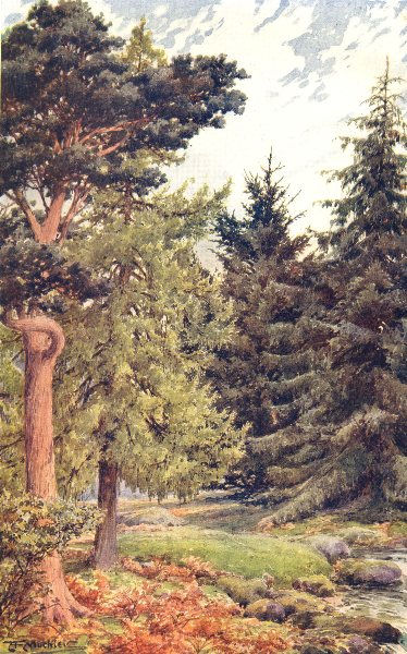 Associate Product CONIFERS. Scotch Pine; Larch; Spruce; Douglas Fir 1912 old antique print
