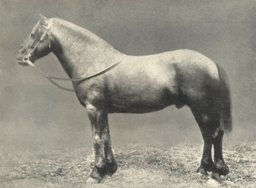 """Associate Product HORSES. Dales Pony Stallion-""""Blooming Heather"""" 1912 old antique print picture"""