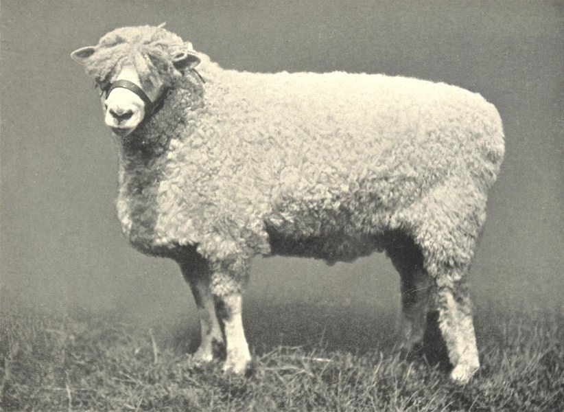 """Associate Product SHEEP. Cotswold Ram-""""Lincoln Royal"""" (1155) prize RASE. show 1907; 1912 print"""