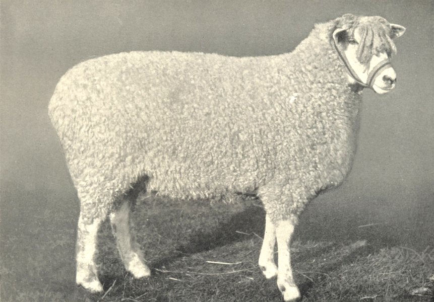 Associate Product SHEEP. Cotswold Shearling Ewe, One of 1st prize pen at RASE. show, 1908 1912