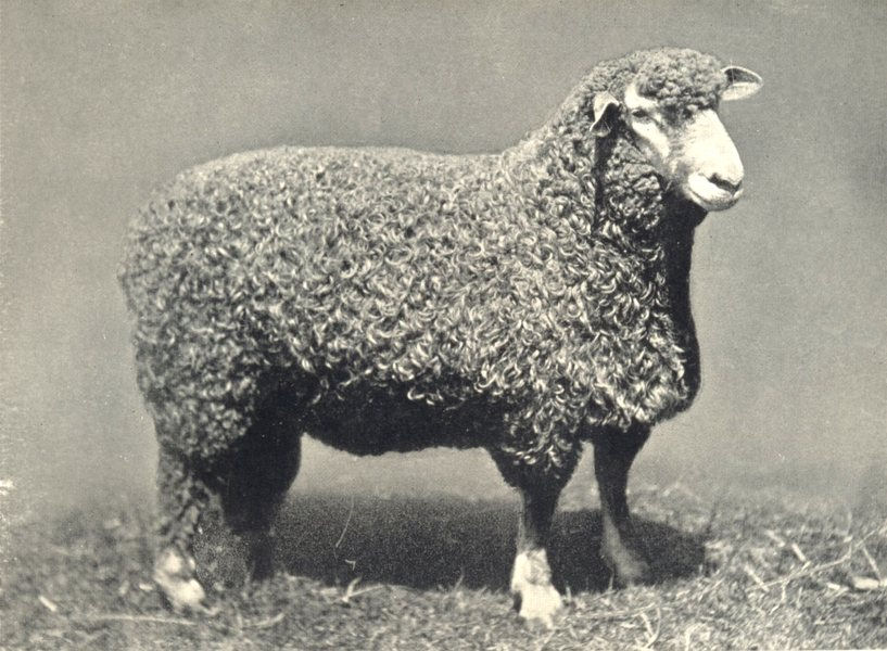 Associate Product SHEEP. Devon Long-Woolled Ram, Breed champion all leading shows 1908 1912