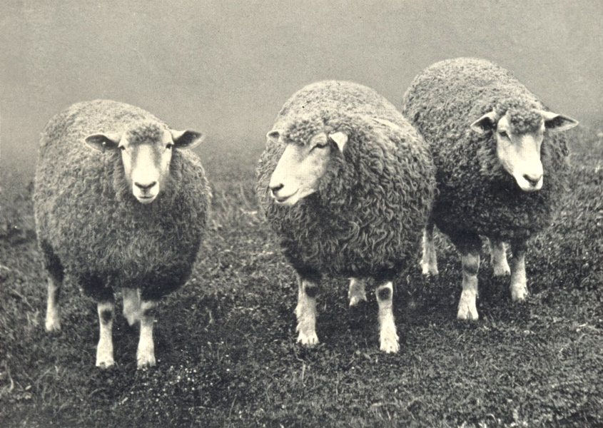 Associate Product SHEEP. Devon Long-Woolled Ewes, 1st prize winners at RASE. show, 1908 1912