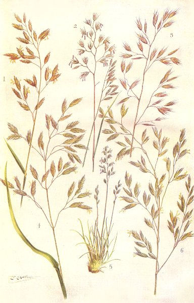 Associate Product FESCUE GRASSES. Meadow, Hard, Various-leaved, Tall, Sheep's Fescue 1912 print