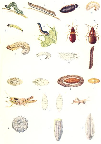 Associate Product INSECTS. Entomology – I; Insects – Larvae, Pupae, and Ova 1912 old print