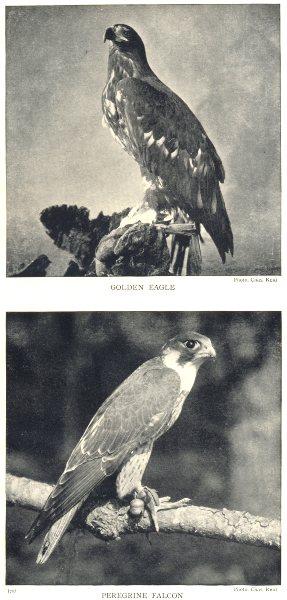 Associate Product BIRDS. Golden Eagle; Peregrine Falcon 1912 antique vintage print picture