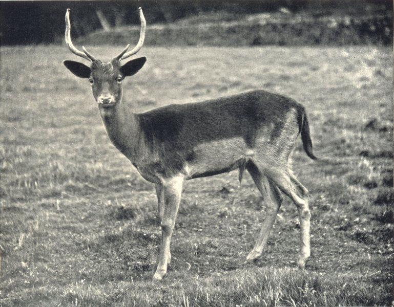 Associate Product DEER. Fallow Deer 1912 old antique vintage print picture