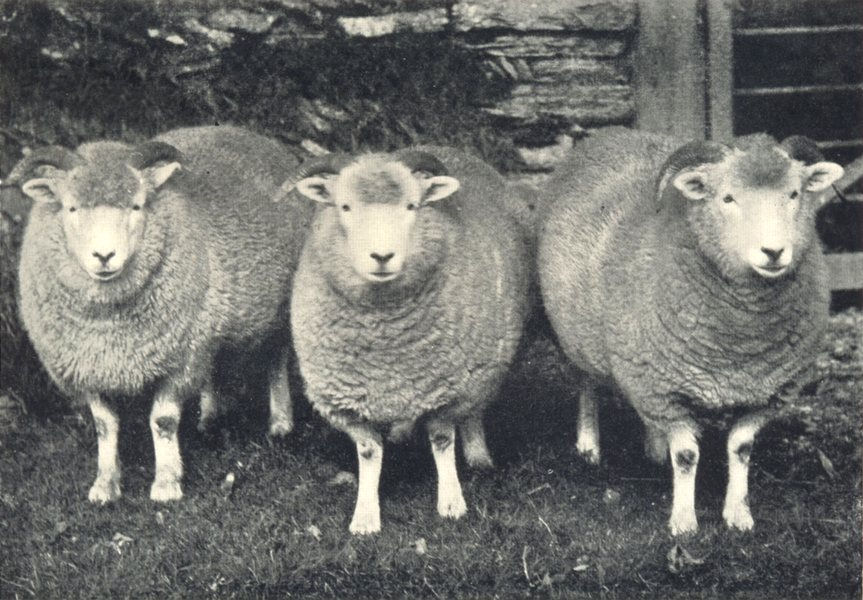 Associate Product SHEEP. Exmoor Horn Yearling Ewes (Shorn) prize winners RASE. show, 1907 1912