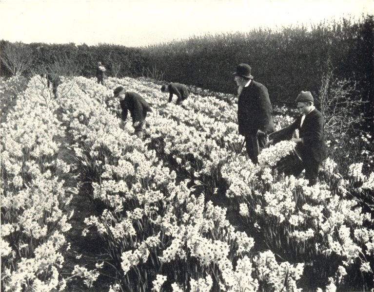 Associate Product ISLES OF SCILLY. Flower Farming; Picking Flowers, Scilly Isles 1912 old print