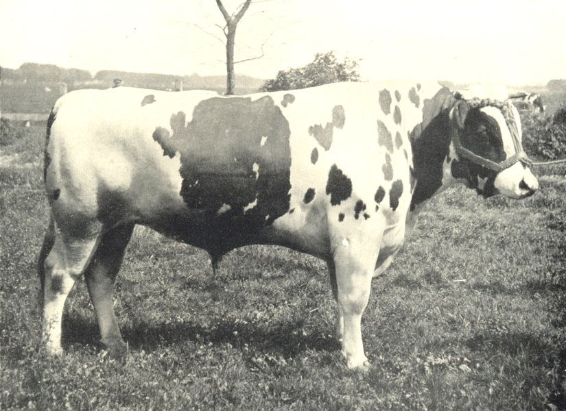 Associate Product CATTLE. Typical Friesian Bull 1912 old antique vintage print picture