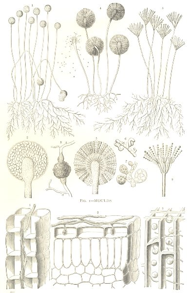 Associate Product FUNGI. Fig. 1-Moulds; Fig. 2-Hyphae of Parasitic Fungi 1912 old antique print