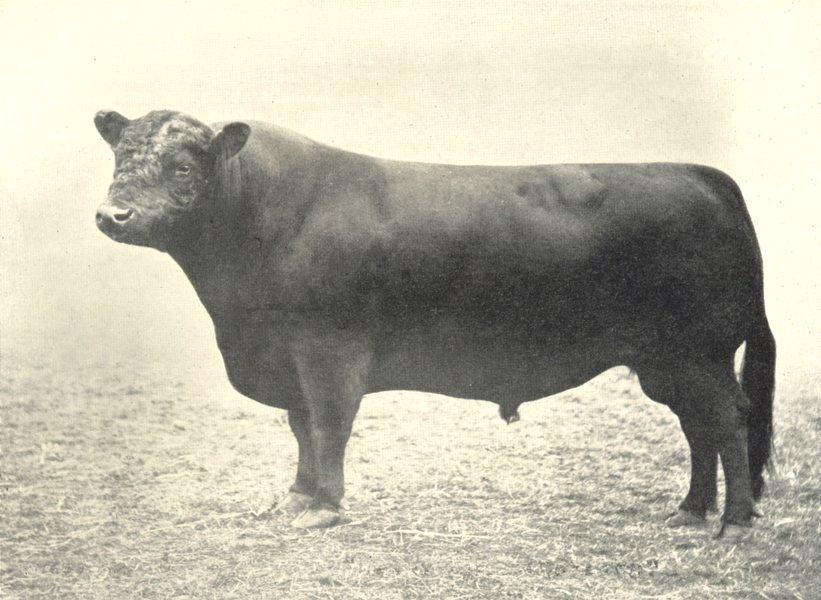 "Associate Product GALLOWAY BULL. ""Henry Tarbreoch"" winner prize H&AS shows 1889-90 1912 print"