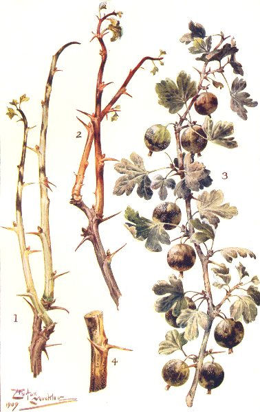 Associate Product AMERICAN GOOSEBERRY MILDEW. Winter condition. Green, red-fruited 1912 print