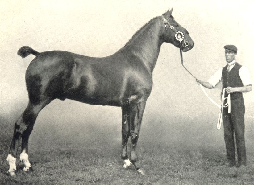 "Associate Product HORSES. Hackney Stallion-""Flash Cadet"" champion RASE. show, 1908 1912 print"