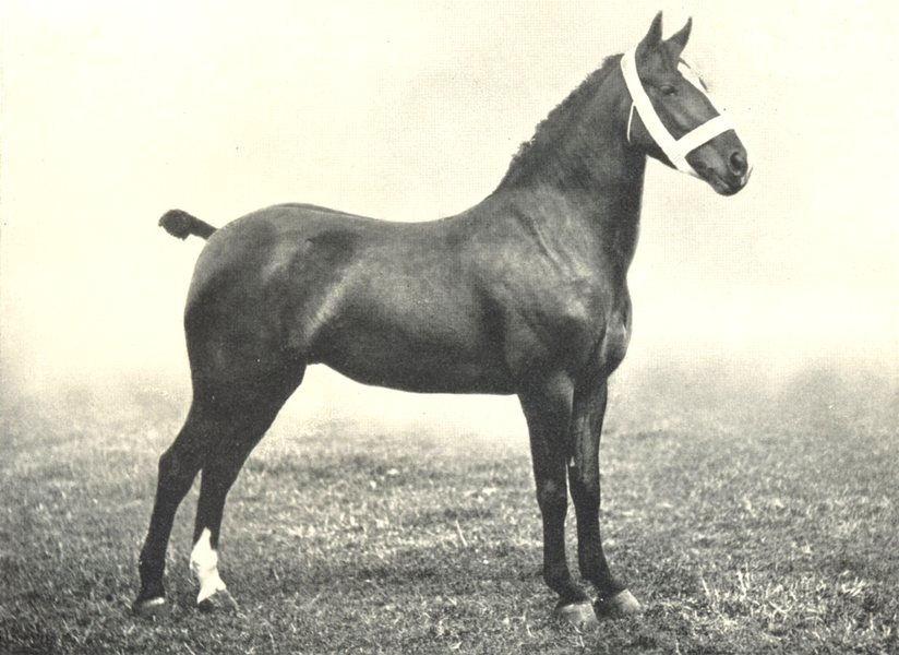 "Associate Product HORSES. Hackney Pony Mare-""Fylde Classic"" winner of Numerous prizes 1912 print"