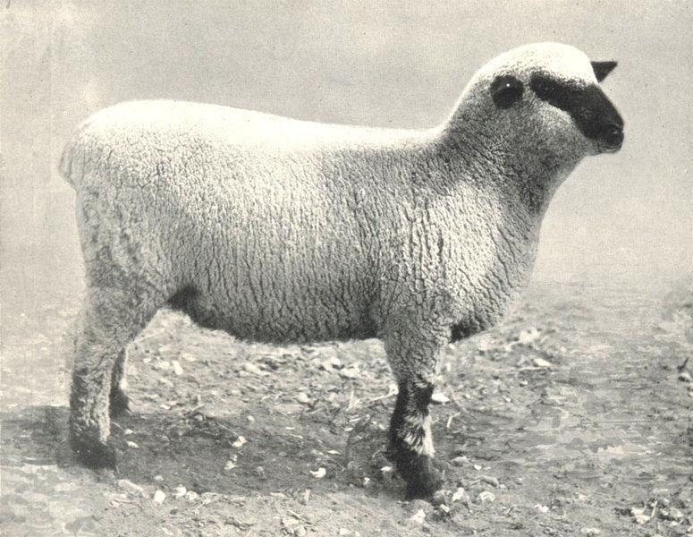 Associate Product SHEEP. Hants Ewe prize pen Lambs Salisbury Fair, 1908 1912 old antique print