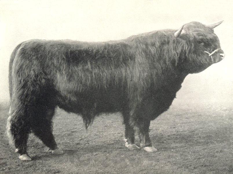 "Associate Product HIGHLAND BULL. ""Seanalair Ruadh"" prize winner Oban Bull show 1909 1912 print"