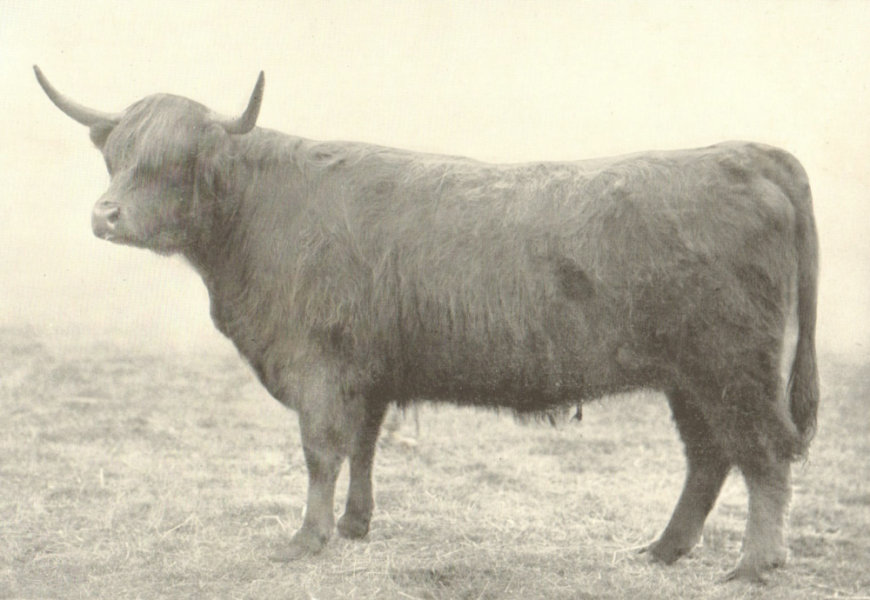 """Associate Product CATTLE. Highland Heifer """"Laochag"""" Breed champion at the H&AS show 1905 1912"""