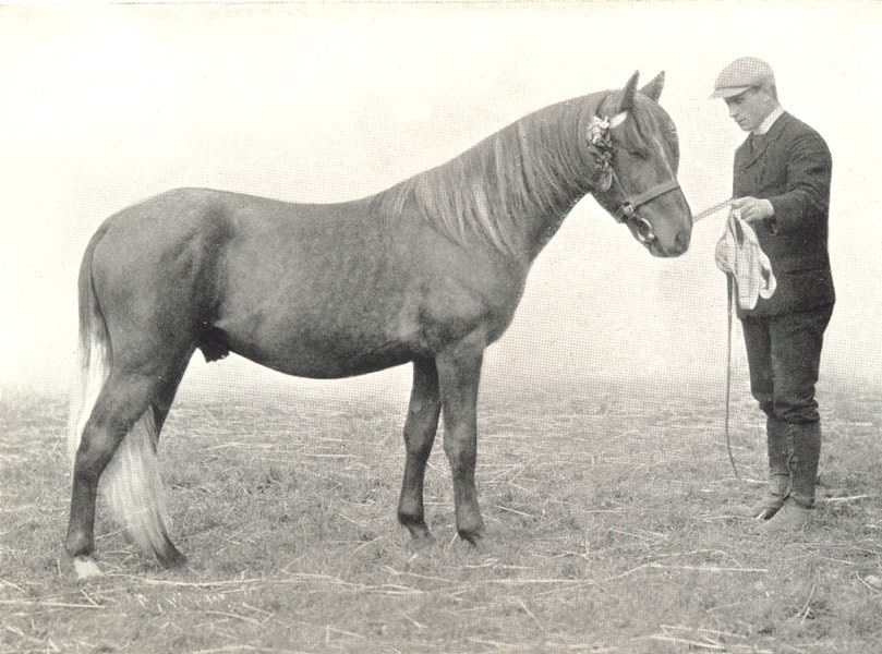 """Associate Product HORSES.Highland Pony Colt-""""Skerryvore"""" winner president Medal.A.S.show,1907 1912"""