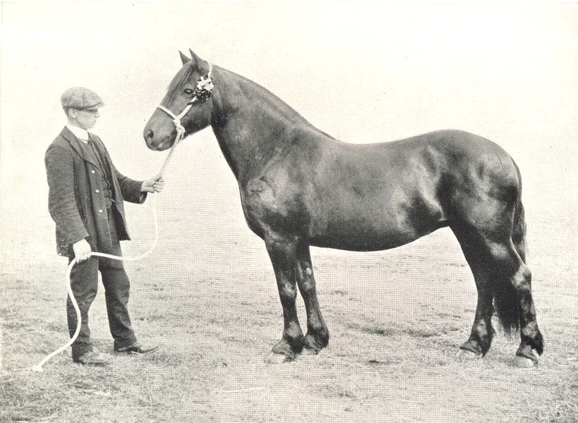 """Associate Product HORSES.Highland Pony Mare-""""Braulin"""" winner president Medal.A.S.show,1908 1912"""