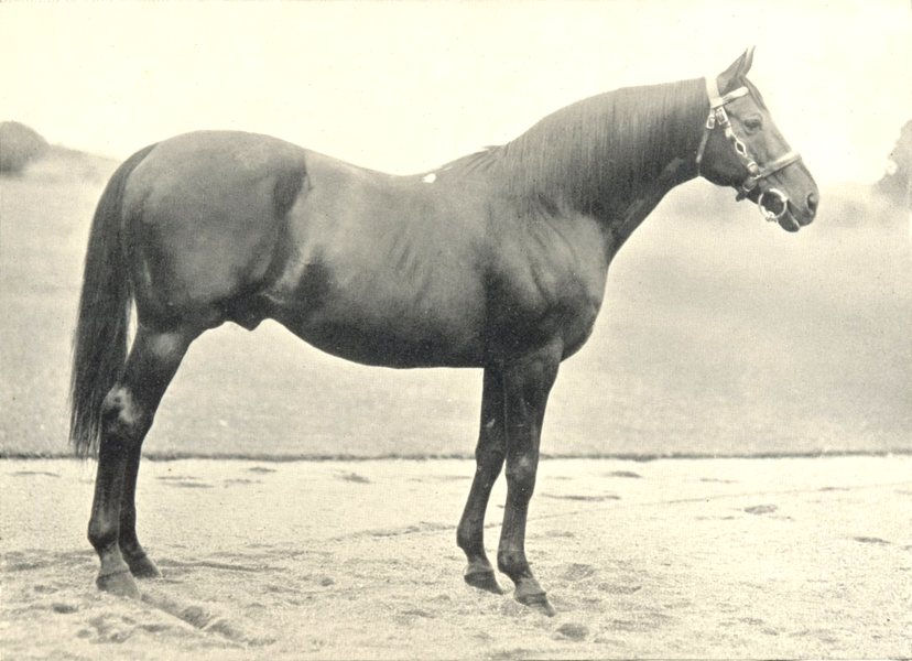 """Associate Product HORSES. Famous Hunter Sire-""""Red Prince 2"""" times Royal Dublin show 1912 print"""