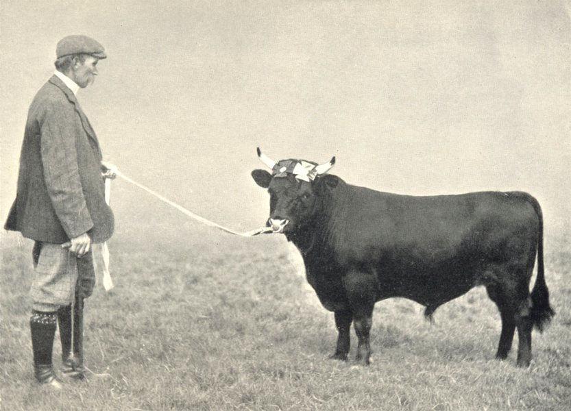 """Associate Product DEXTER BULL. """"Cowbridge General"""" Lancs & Sussex County shows, 1908 1912 print"""