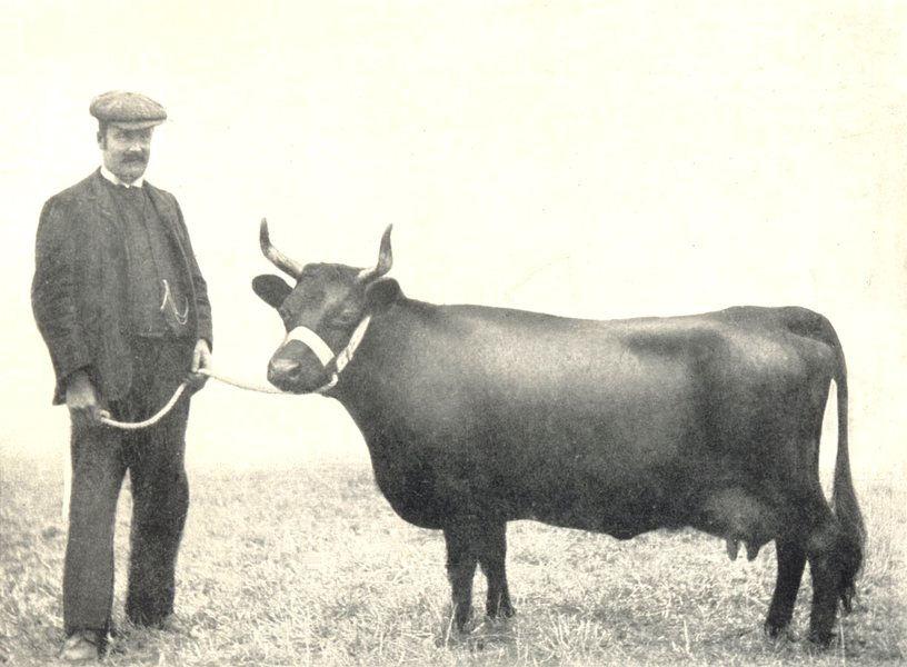 "Associate Product DEXTER COW. ""Compton Dob"" RASE show 1905, winner Many Championships 1912 print"