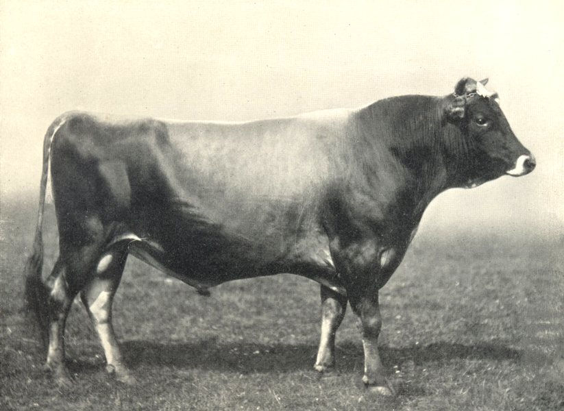 """Associate Product CATTLE. Jersey Bull """"Alfriston's Pride"""" 1st at the RASE show. 1908 1912 print"""