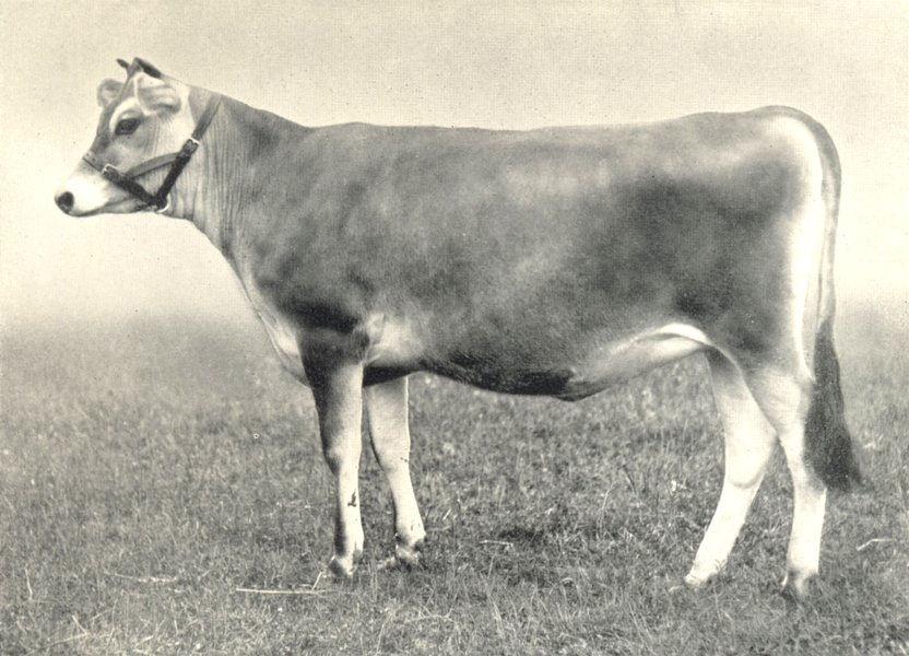 "Associate Product CATTLE. Jersey Heifer ""Frolic"" winner first prize RASE show 1907 1912 print"