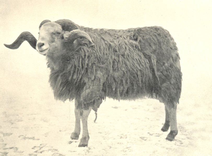 Associate Product SHEEP. Hunia Fighting Ram India Brought. . Prince Wales Nepal 1912 old print