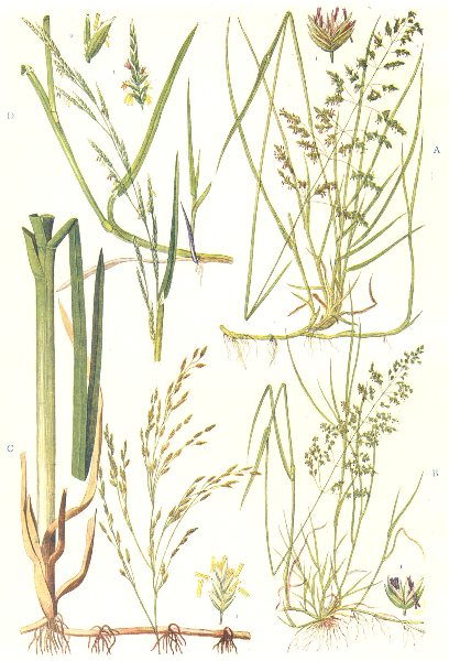 Associate Product MEADOW GRASSES.Smooth-Rough-stalked,Water Meadow Grass;Floating Sweet Grass 1912