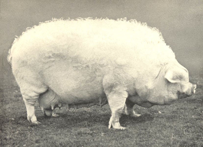 """Associate Product PIGS.Lincoln Curly-Coated Sow-""""Midville AI"""" winner prizes,RASE.show,1907 1912"""