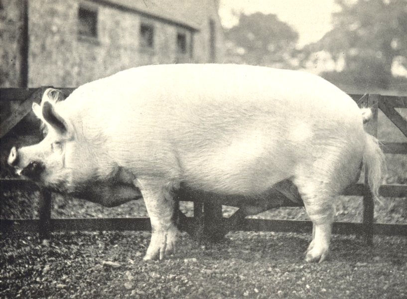 "Associate Product PIGS. White Boar-""Sampson Worsley"" winner prize, RASE. show, 1909 1912 print"