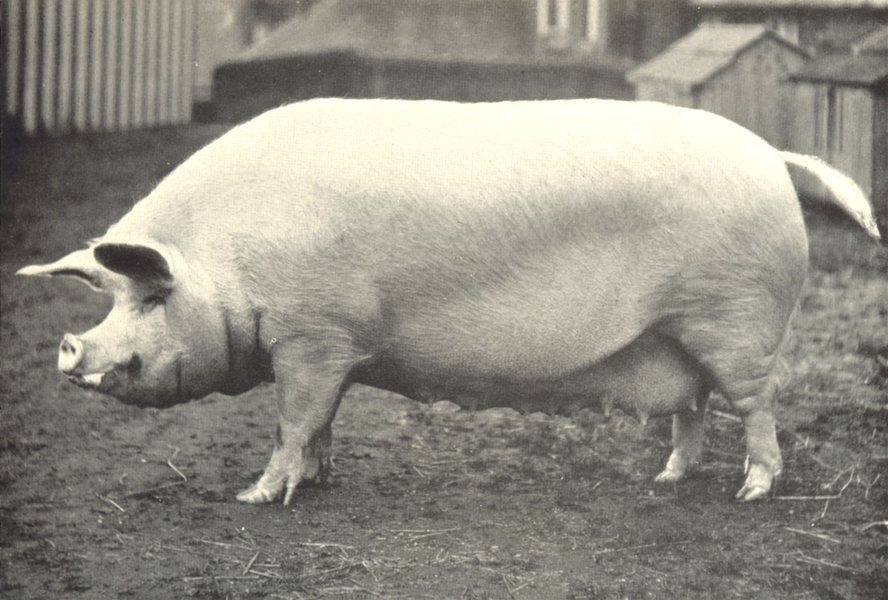 """Associate Product LARGE WHITE SOW. """"Bottesford Monchington Queen"""" RASE prizewinner, 1908-9 1912"""
