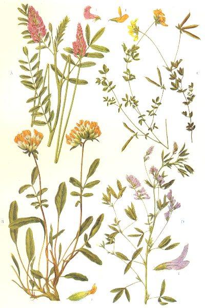 Associate Product FLOWERS. Leguminosae. Sainfoin; Kidney Vetch; Bird's-foot Trefoil; Lucerne 1912