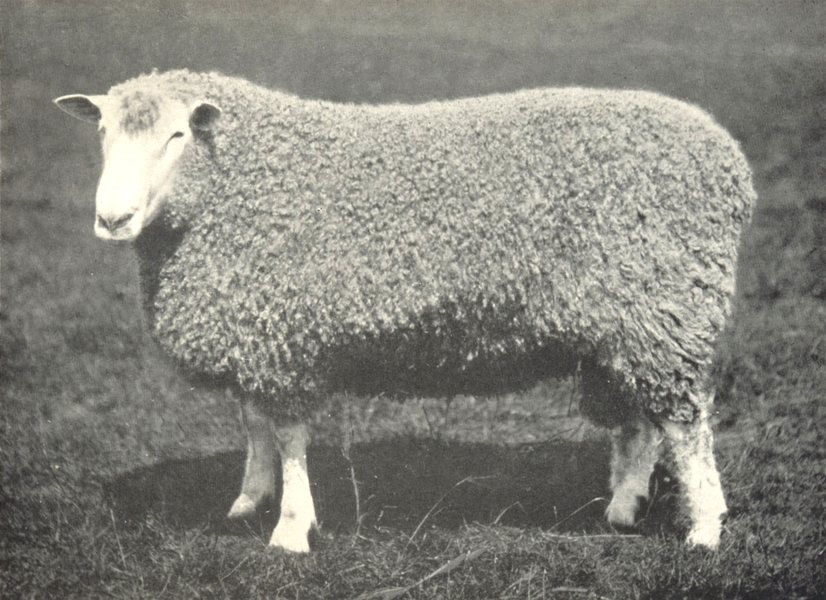 Associate Product SHEEP. Leicester Shearling Ram winner of first prize, RASE. show, 1908 1912