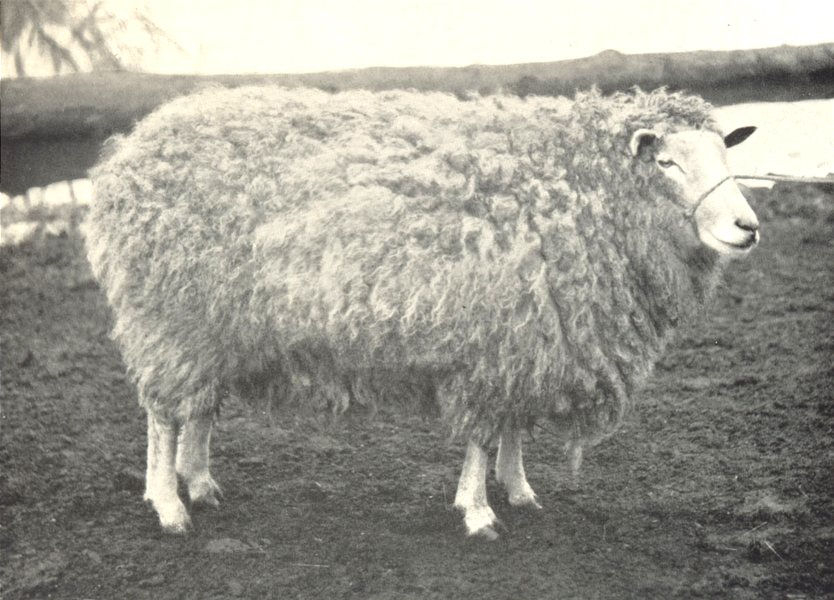 """Associate Product SHEEP. Leicester Ewe-""""Middlewick"""" (in full fleece) winner Five first prizes 1912"""