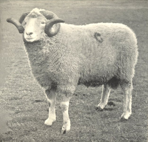 Associate Product SHEEP. Limestone Cragg Ram 1912 old antique vintage print picture