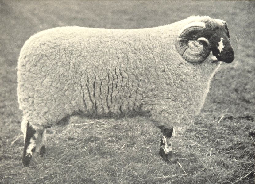 """Associate Product SHEEP. Lonk Ram, """"Young King"""" first prize winner, RASE. show, 1902 1912 print"""