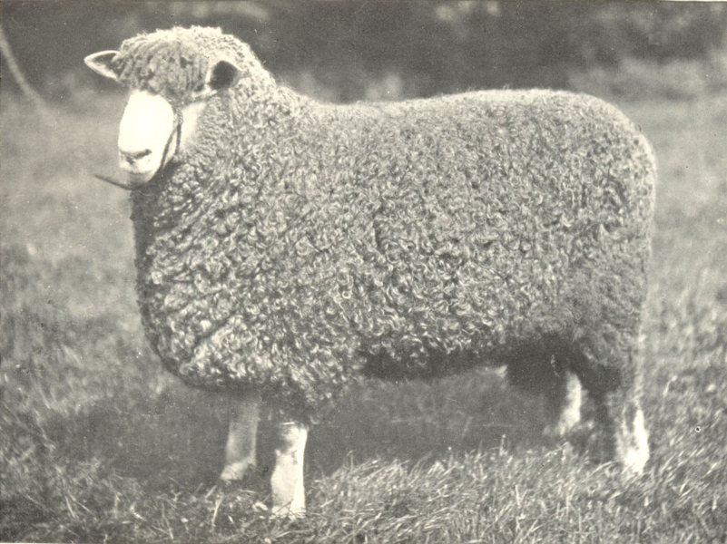 """Associate Product LINCOLN SHEARLING RAM. """"Riby Gloucester Champion"""" RASE. Lincs shows, 1909 1912"""