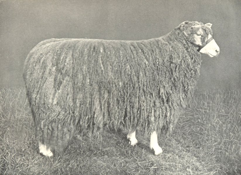 Associate Product SHEEP. Lincoln Ewe one of first prize pen at the RASE. show, 1908 1912 print