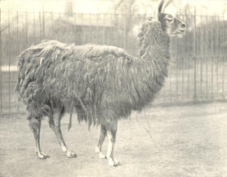 Associate Product LLAMAS. Llama 1912 old antique vintage print picture